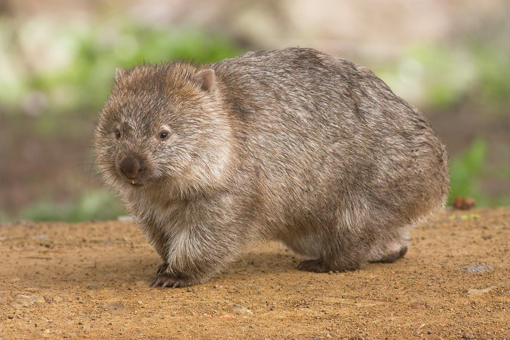 Picture of a wombat